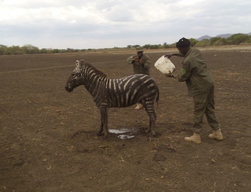 Cheetah, baby Zebra Rescued