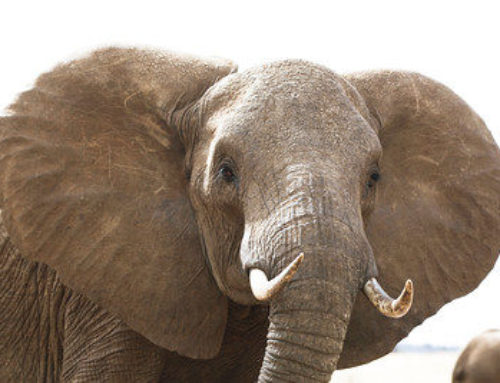 Poacher jailed for owning jumbo carcass, ivory