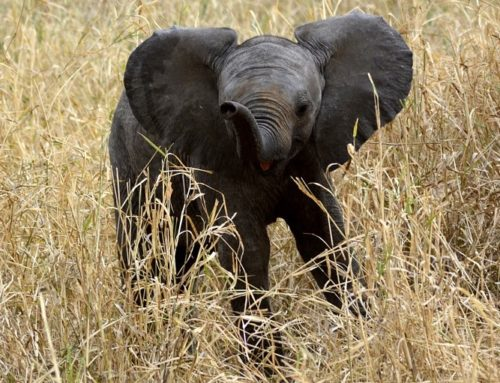 Pitiless poachers leave baby elephant orphaned and alone