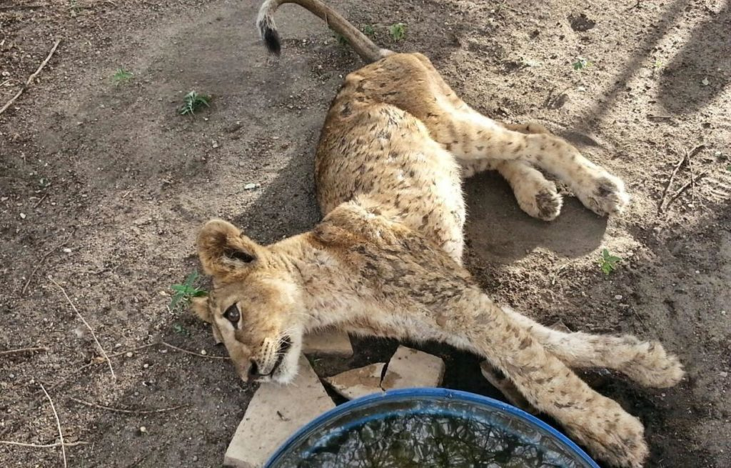 Kali the lion cub unconscious after being pulled from under a buffalo carcass