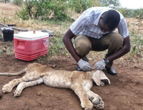 Lion Cub Rescue
